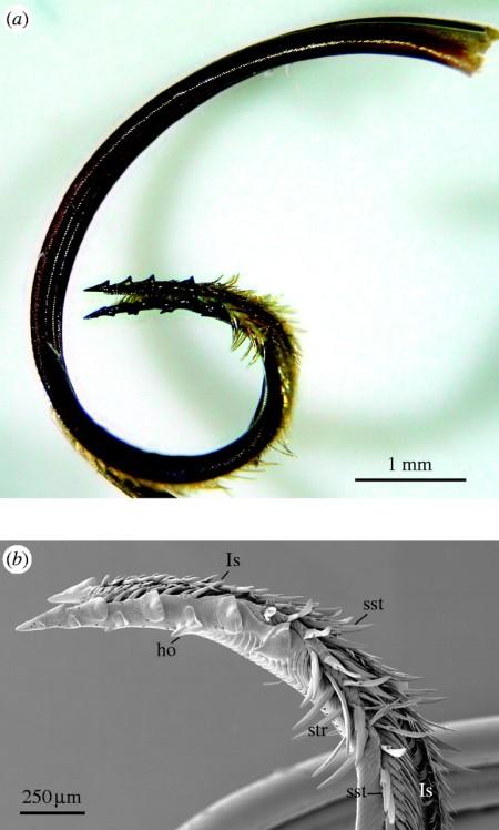 proboscide Hemiceratoides hieroglyphica